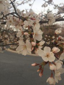 It's Cherry Blossom Ten Miler Week! - Elbowglitter
